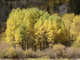 Stand of Autumn Colored Aspen Trees Photographic Print by Charles Kogod
