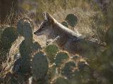 Coyote in an Enclosure at the Arizona-Sonora Desert Museum Reproduction photographique par Scott Warren