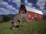 Donkey Grazing Near a Large Red Barn Fotografisk tryk af Ed George