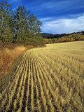 Fall Wheat Stubble in Fields Near Bozeman Lámina fotográfica por Gordon Wiltsie