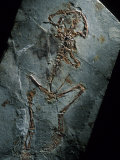This 124 Million Year Old Frog Fossil Comes from Sihetun, China Photographic Print by O. Louis Mazzatenta