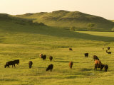 Cattle Grazing on the Hills Near Killdeer, North Dakota Reproduction photographique par Phil Schermeister