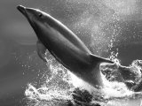 Bottlenose Dolphin, Tusiops Truncatus, Leaping from the Water Fotografie-Druck von Ralph Lee Hopkins