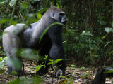 Gorilla Knuckle-Walks on Arms as Thick as Tree Limbs Fotografie-Druck von Ian Nichols
