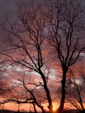 California Black Oak Tree at Sunset at an Elevation of 3,500 Feet Photographic Print by Phil Schermeister
