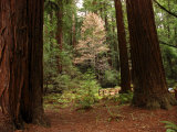 Redwoods and Trail in Muir Woods National Monument, California Fotografisk tryk af Raymond Gehman