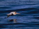 Brown Pelican in Flight over Water Reproduction photographique par Tim Laman