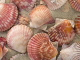 Scallop Shells on a Beach Photographic Print by Ralph Lee Hopkins