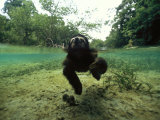 Pygmy Sloth Swimming in Coastal Panama Waters Photographic Print by Bill Hatcher