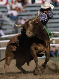 Rodeo Competitor in a Steer Riding Event Fotografisk tryk af Chris Johns