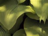 """Close Up Detail of Hosta """"Sun Power"""" Leaves Reproduction photographique par Paul Damien"""