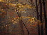 Trees in Autumn Hues in a Foggy Forest