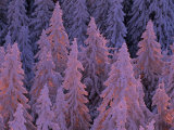 Snow Blanketed Fir Trees in Germany's Black Forest at Sunrise Fotografisk trykk av Norbert Rosing