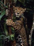 Jaguar Named Boo Climbs a Tree at the Belize Zoo Fotografisk tryk af Steve Winter
