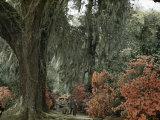 Live Oak Tree Draped with Spanish Moss Dwarfs Tourists Strolling Path Photographic Print by B. Anthony Stewart