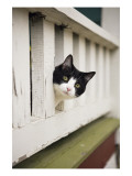 Cat Peeking Through Photographie