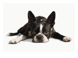 Boston Terrier Photographie