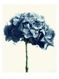 Blue Hydrangea Fotografia