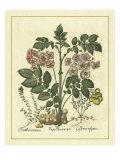 Besler Floral V ポスター : Besler Basilius