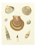 Knorr Shells V Prints by George Wolfgang Knorr