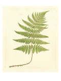 Soft Prickley Shield Fern Posters