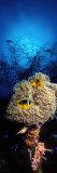 Sea Anemone and Allard's Anemonefish in the Ocean Fotografie-Druck