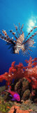 Lionfish and Squarespot Anthias with Soft Corals in the Ocean Reproduction photographique par  Panoramic Images