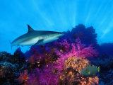 Caribbean Reef Shark and Soft Corals in the Ocean Lámina fotográfica