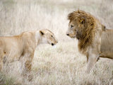 Lion and a Lioness Standing Face to Face in a Forest, Ngorongoro Crater, Ngorongoro, Tanzania Fotografisk tryk