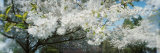 Cherry Blossom Tree in a Park, Volunteer Park, Capitol Hill, Seattle, Washington State, USA Fotografie-Druck