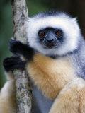 Diademed Sifaka Climbing a Branch, Lemur Island, Madagascar Fotografisk trykk