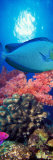 Vlamings Unicornfish and Squarespot Anthias with Soft Corals in the Ocean Fotografisk trykk av Panoramic Images,