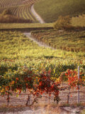 Vineyards, Barbaresco Docg, Piedmont, Italy Photographic Print
