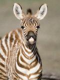 Close-Up of a Burchell's Zebra Foal, Ngorongoro Crater, Ngorongoro, Tanzania Impressão fotográfica