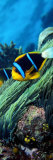Allard's Anemonefish in the Ocean Fotografie-Druck von  Panoramic Images