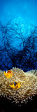 Mat Anemone and Allard's Anemonefish in the Ocean Premium-Fotodruck