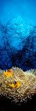 Mat Anemone and Allard's Anemonefish in the Ocean Fotografie-Druck von  Panoramic Images