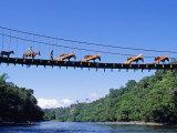 Mule Train Crossing a Bridge over the Rio Upano, Moreno Santiago Province, Ecuador Fotografie-Druck von Paul Harris