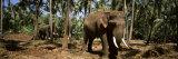 Indian Elephants in a Sanctuary, Punnathurkotta, Guruvayur, Kerala, India Fotografisk trykk av Panoramic Images,