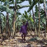 Bananas are Grown Everywhere in Uganda Photographic Print by Nigel Pavitt