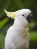 Queensland, Brisbane, Sulphur-Crested Cockatoo, Australia Reproduction photographique par Andrew Watson