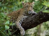 Hunleopard hviler sig i skyggen, liggende på en gren i et træ Fotografisk tryk af John Warburton-lee