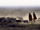 In the Early Morning, a Maasai Herdsboy and His Sister Drive their Flock of Sheep across the Dusty  Fotoprint van Nigel Pavitt