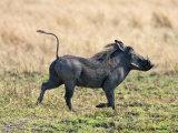 Katavi National Park, A Warthog Runs with its Tail in the Air, Tanzania Lámina fotográfica por Nigel Pavitt