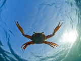 Djibouti, A Red Swimming Crab Swims in the Indian Ocean Fotografie-Druck von Fergus Kennedy