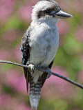 Australia New South Wales, A Kookaburra, a Large Terrestrial Kingfisher Reproduction photographique par Nigel Pavitt