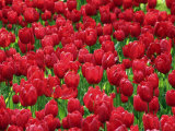 Madrid, Tulips, Spain Photographic Print by David Bank