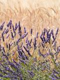 Lavender and Wheat, Provence, France Fotografisk tryk af Nadia Isakova