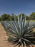 Agave Plants from Which Tequila Is Made, Hacienda San Jose Del Refugio, Amatitan, Jalisco Photographic Print by Richard Maschmeyer
