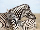 Burchell's Zebra, with Foal, Etosha National Park, Namibia, Africa Fotografisk tryk af Ann & Steve Toon